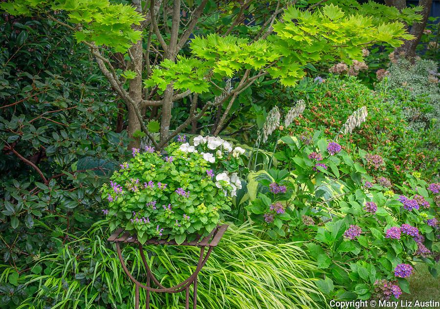 Vashon-Maury Island, WA: Summer shade garden with planter of begonia and lamium next to 'Full Moon' Japanese maple, hydrangea 'Pistachio' and Japanese forest grass