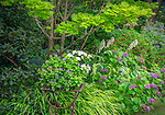 Vashon-Maury Island, WA: Summer shade garden with planter of begonia and lamium next to 'Full Moon' Japanese maple, hydrangea 'Pistachio' and Japanese forest grass