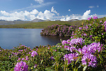 Ireland, County Galway, Connemara: Lough Fee with Rhododendrons and The Twelve Bens in distance   Irland, County Galway, Connemara: der Lough Fee mit Rhododendron im Hintergrund The Twelve Bens