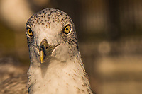 Staring with clear yellow eyes and wearing a distinctive, defining band circling its bill, a Ring-billed gull poses at a neighborhood park.