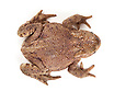 Common european toad {Bufo bufo}, photographed on a white background in mobile field studio, Derbyshire, UK. March.