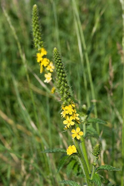 Agrimony (Agrimonia eupatoria), chalk grassland, East Sussex, late June.
