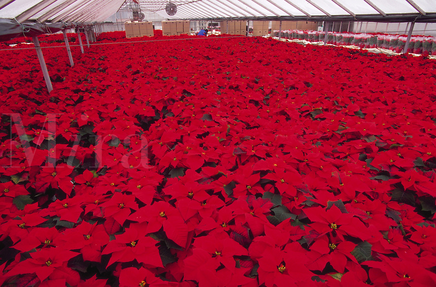 Wholesale nursery greenhouse filled with poinsettias
