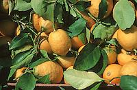 France/06/Alpes Maritimes/Nice: Cours Saleya, citrons de Menton sur le marché