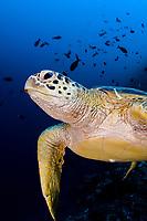 Green sea turtle, Chelonia mydas, portrait. Sipadan Island, Sabah, Borneo, Malaysia, Celebes Sea, Pacific Ocean