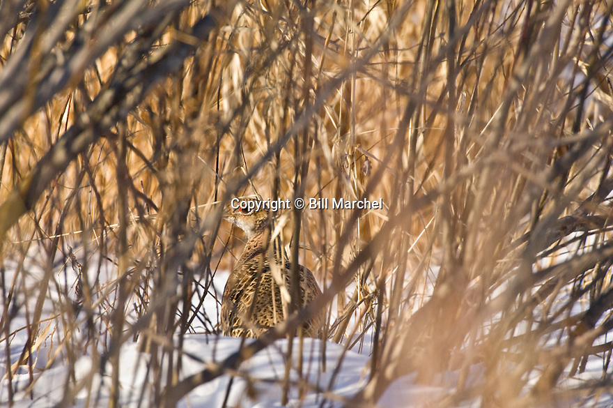 00890-036.07 Ring-necked Pheasant hen is in winter cover.  Hunt, survive, feed.  H3A1