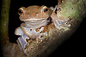 Tree frog {Boophis sp.} in tree in tropical rainforest at night. Masoala Peninsula National Park, north east Madagascar.