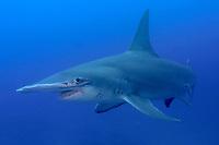 great hammerhead shark, Sphyrna mokarran, Bahamas, Caribbean, Atlantic