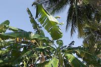 Dominikanische Republik, Bananenplantage im Südosten, östlich des Lago Enriquillo