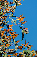 Western Monarch Butterflies (Danaus plexippus) enjoying the California sun on a warmer than usual February day.
