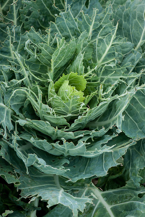 Cabbage attacked by slugs and birds, early August.