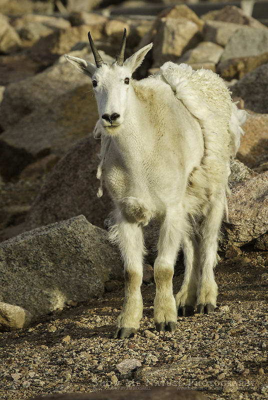 Mountain Goat foraging on Mount Evans