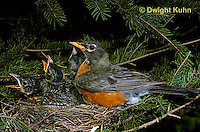 RO02-002z  American Robin adult sitting on young in nest to protect them - Turdus migratorius