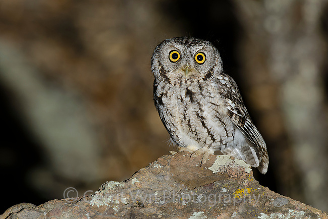 Whiskered Screech-Owl (Megascops trichopsis) at night. Pima County, Arizona. April.