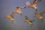 Red knots come in for a landing, Grays Harbor National Wildlife Refuge, Washington.