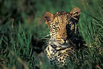 Female Leopard (Panthera pardus) concealed in long grass. Serengeti National Park, Tanxania.