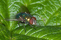 Goldfliege, Gold-Fliege, Männchen, Lucilia spec., greenbottle, green bottle fly, Schmeißfliegen, Calliphoridae