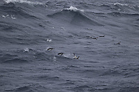 Chinstrap Penguins Pygoscelis antarcticus swimming, South Orkney islands, Scotia Sea,  Southern Ocean, Antarctica