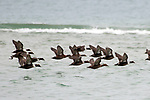 Common eiders flying right, medium shot, South beach, Chatham, Massachusetts