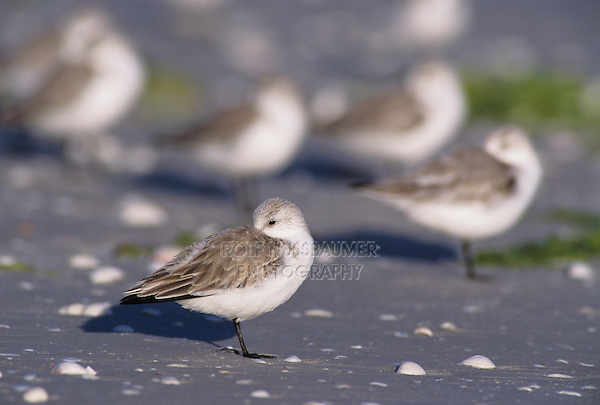 Sanderling, Calidris alba,adults resting winter plumage, Sanibel Island, Florida, USA