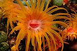 Tubastrae Cup Coral