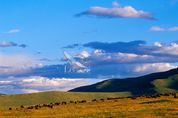 MB386  Bison Herd at National Bison Range, Montana.  June evening.