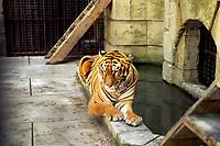 Tiger<br /> <br /> <br /> <br /> PHOTO :  Agence Quebec Presse