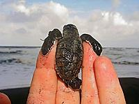 hawksbill sea turtle hatchling, Eretmochelys imbricata, resting in hand, Dominica, Caribbean, Atlantic Ocean