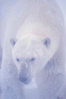 polar bear, Ursus maritimus, in a snow storm in the 1002 coastal plain of the Arctic National Wildlife Refuge, Alaska, polar bear, Ursus maritimus