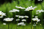 Daisies Blooming in Springtime New Hampshire