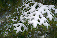 Snowy fir tree branches in the French Alps, France.