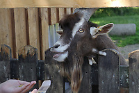 Ziege streckt sich für das Futter im Haustierpark Werdum - Werdum 24.07.2020: Haustierpark Werdum
