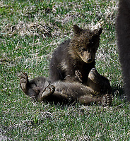 Grizzly Cub Food Pads, Yellowstone