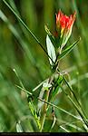 Wyoming Indian Paintbrush, Castilleja linariifolia, Ski Meadow, Pajarito Mountain, Los Alamos, New Mexico