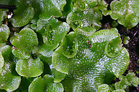 Echtes Brunnenlebermoos, Brunnenlebermoos, Brunnen-Lebermoos, Lebermoos, Marchantia polymorpha, common liverwort, umbrella liverwort