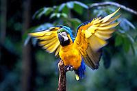 Animais. Aves. Arara. Amazônia. Foto de Ricardo Azoury.