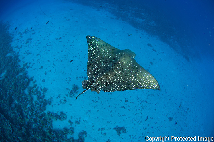 Spotted eagle ray swimming in the waters of Molokini Maui Hawaii,in the mid channel area.
