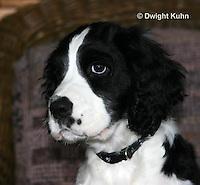 SH25-574z English Springer Spaniel puppy