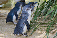 Little penguins, Eudyptula minor, are common in South Australia's coastal beaches and islands with suitable cover. Australia.