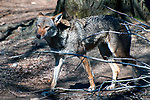 red wolf full body view facing left walking