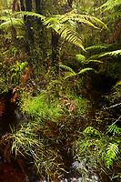 Tree ferns in Ship Creek bog, South Westland, West Coast, UNESCO World Heriatge Area, South Island, New Zealand, NZ