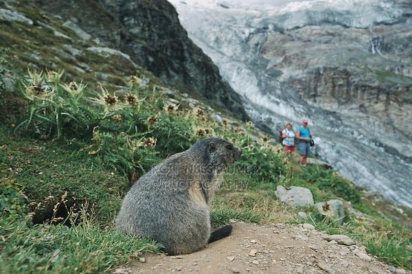 Alpine Marmot (Marmota marmota), adult at burrow watching people with glacier view, Saas Fee, Valais, Switzerland