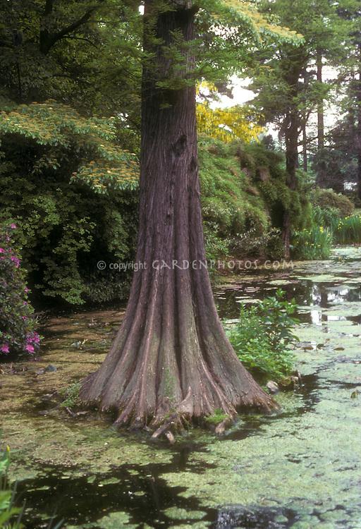 Baldcypress tree in wetlands Taxodium distichum, native habitat, wild