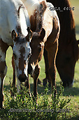 Bob, ANIMALS, REALISTISCHE TIERE, ANIMALES REALISTICOS, horses, photos+++++,GBLA4406,#a#, EVERYDAY