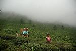 The Tea Story - Darjeeling