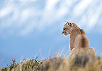 The last time I saw this female puma, she was a seven-month-old cub. This time, she was out on her own, surviving just fine despite the loss of an eye.