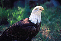 Mature Adult Bald Eagle (Haliaeetus leucocephalus) perched on Ground