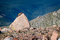 Yellow-bellied Marmot (Marmota flaviventris) checks out his surroundings, from the peak of its mini-mountain, right on the edge of a 10,000 foot plus drop.  Mount Evans, Colorado.