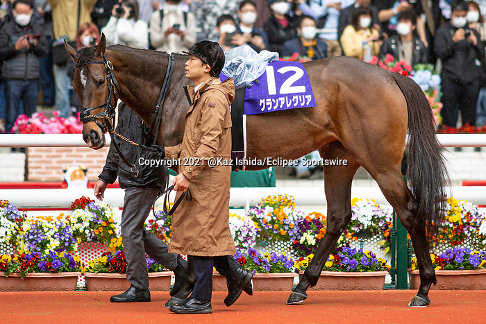 TAKARAZUKA,JAPAN-APR 4: Gran Alegria (2020 JRA Awards Best Sprinter or Miler category winner)walks on the paddock before the Osaka Hai at Hanshin Racecourse on April 4,2021 in Takarazuka,Hyogo,Japan. Kaz Ishida/Eclipse Sportswire/CSM