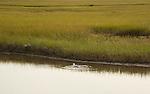 gull in salt water marsh